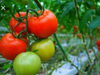 Ini Harga Tomat dan Rica di Manado