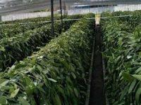 Vanili  Rp2.500.000/kg, Kopra Rp4.400/kg, Harga di Manado